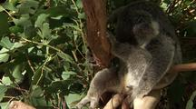 Koala Sitting In Fork Of Gum Tree, Scratches Vigourously, Zoom Into Face