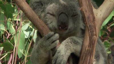 Koala Sitting In Fork Of Gum Tree, Face, Asleep, Paw