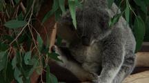 Koala Sitting In Fork Of Gum Tree, Face, Bcu Nose