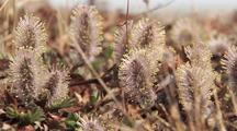Wind Blowing Arctic Willow Catkins