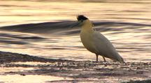 Capped Heron Stalking On Mudbank, River Bkg. Stops, Crest Up In Alarm, Relaxes