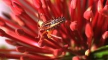 Plantbug Climbing Through Anthers Of Red Flower