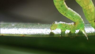 Carnivorous Caterpillar Climbs Along Edge Of Leaf