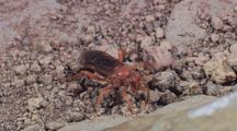 Macro Ws Popilid Wasp On Rock Debris, Exits Right