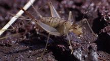 Macro Ms Lava Cricket, Waggling Antennae