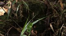 Ms Pan L Goliath Bird Eating Spider Resting On Debris