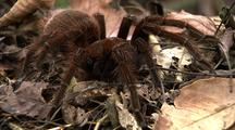 Mcu Goliath Bird Eating Spider