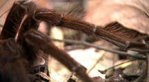 Cu Goliath Bird Eating Spider Legs