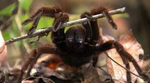 Mcu  Z/I, Goliath Bird Eating Spider Fangs, Front Legs Raised By Stick, Z/O Mcu