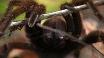 Cu Person Using Stick To Reveal Goliath Bird Eating Spider Fangs