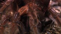 Cu Goliath Bird Eating Spider From Front