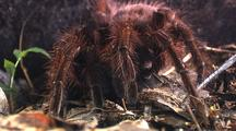 Mcu Goliath Bird Eating Spider Front On, Drops Leg Down