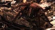 Ms, Z/I Mcu Goliath Bird Eating Spider Moves Leg, Z/O