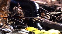 Mcu Millipede Crawls Over And Under Debris, Front Of Head Visible