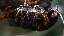 Cu Giant Centipede Feeding Upside Down