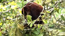 Z/I Mcu Red Howler Monkey Eating Leaves In Tree