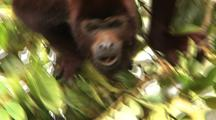 Cu Red Howler Monkey Climbing Through Tree, Falls Away From Cam Into Foliage Below, Ms