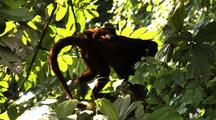 Ms Red Howler Monkey Climbing Up Branch Out Of Frame
