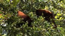 Z/I, Ms Two Red Howler Monkeys In Tree, Smaller Flees