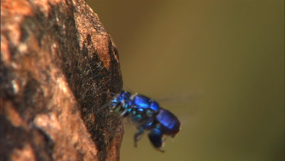 Ms Tra Solitary Metallic Blue Bee Repeatedly Flying, Landing, And Climbing Tree Trunk