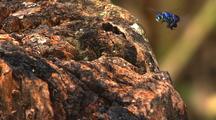 Mws Tra Solitary Metallic Blue Bee Flies Around Landing On Tree Stump, Feeding