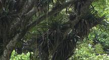 Vines Hang & Multiple Bromeliad Plants Grow On Fig Tree