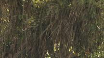 Heavy Rain Falls As Bromeliad Plants Grow On Fig Tree
