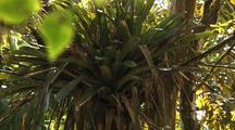 Mcu Rain Falls As Bromeliad Grows On Fig Tree