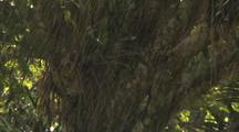 Rain Falls On Strangler Fig Tree And Bromeliad