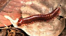 Millipede Creeps Along Dead Leaf