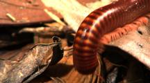 Millipede Creeps Over Edge Of Dead Leaf
