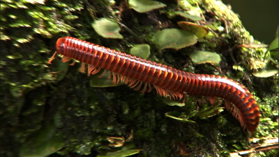 Millipede Moving Along Mossy Tree Trunk