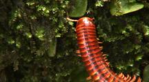 Millipede Creeps Vertically Up Mossy Tree Trunk