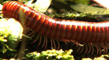 Millipede Body And Legs As It Crawls Along Mossy Tree Trunk