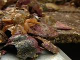 Cu Oysters On Sorting Bench, Small Yellow Octopus Tries To Escape, Is Pushed Back Into Shot.