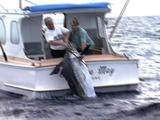"Ws Z/I To Mws, Stern ""Florence May, Ngunguru"" Fishing Boat. 2 Men Struggle To Haul Huge Black Marlin Aboard, Cam Moves R As Men Lay Marlin Across Width Of Boat."