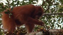 Orang-Utan Eating Fig Fruit