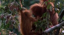 Young Orang-Utan In Tree Climbs Over Onto Mother