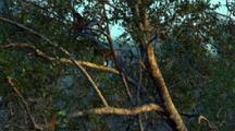 Proboscis Monkey Climbs Up Tree Then Leaps Between Gap In Trees