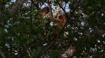 Proboscis Monkeys Climbing In Tree