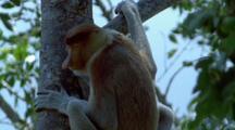 Male Proboscis Monkey In Tree