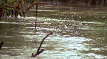 Saltwater Crocodile Swimming Across River