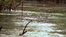 Saltwater Crocodile Swimming Across River