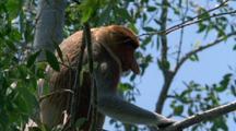 Male Proboscis Monkey In Tree Issues Alarm Call