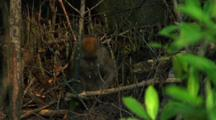 Long Tailed Macaque Foraging Amongst Mangrove Tree Roots
