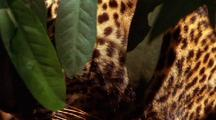 Javan Leopard Moves Through Foliage