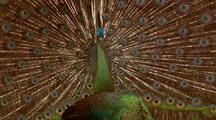 Javan Peacock Displays Tail Feathers For Female