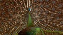 Javan Peacock Displays Tail Feathers For Female