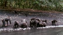Troop Of Crested Black Macaques Drinking From Spring On Beach