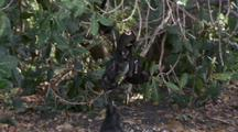 Young Crested Black Macaques Playing In Tree At Top Of Beach